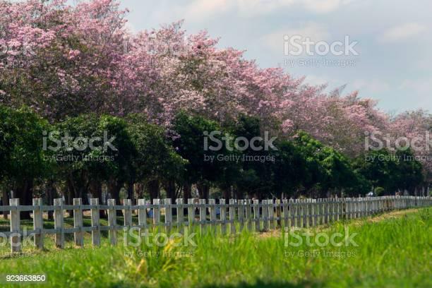 Tabebuia pink with white fence picture id923663850?b=1&k=6&m=923663850&s=612x612&h=tlj0qjog 22zvmk9yxexnlrro30rgzrovd9ohh hci8=