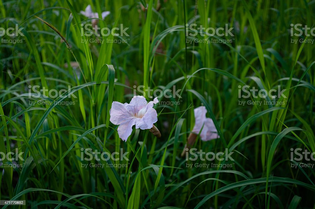 Tabebuia rosea in the grass stock photo