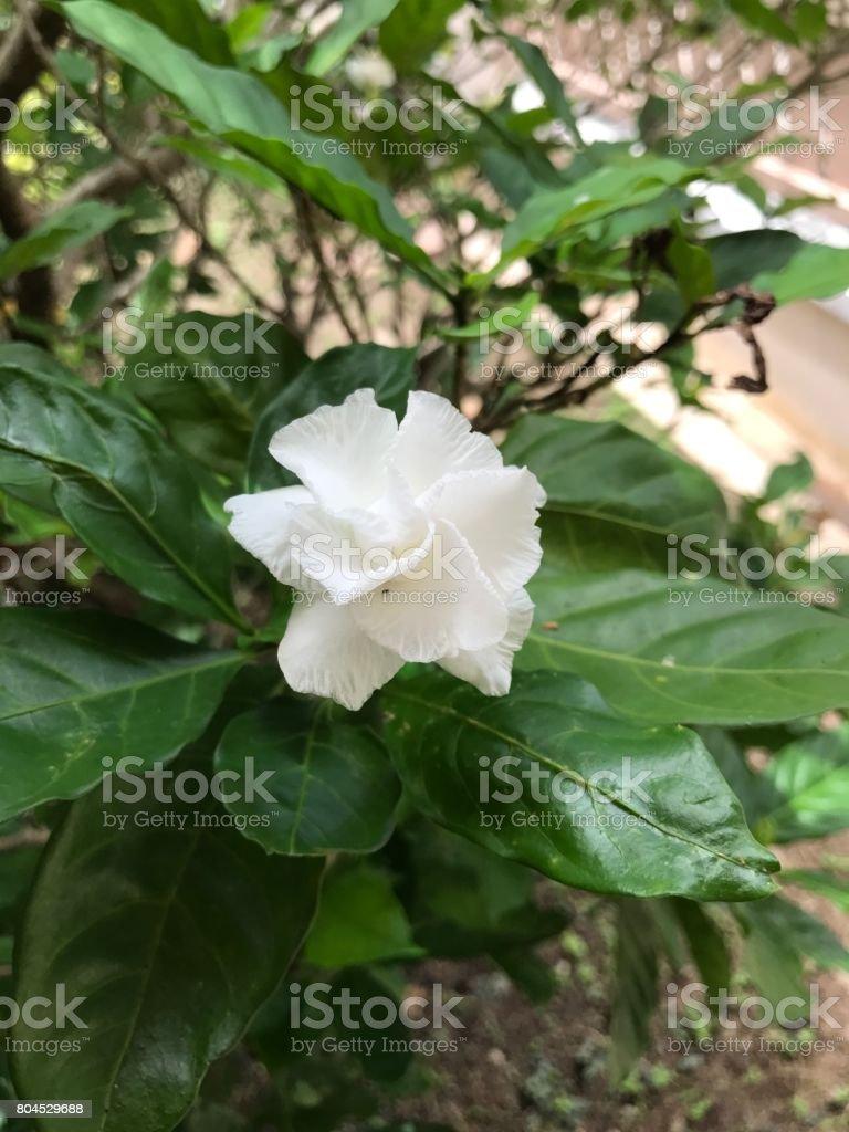 Tabernaemontana divaricata or pinwheel flower or crape jasmine tabernaemontana divaricata or pinwheel flower or crape jasmine flower royalty free stock photo izmirmasajfo