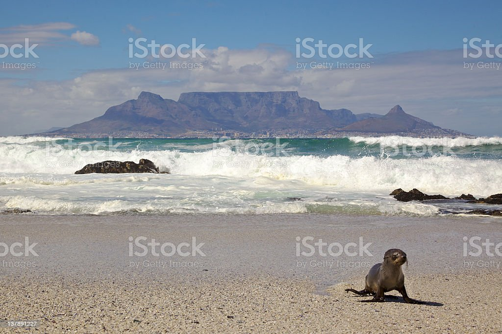 Table Mountain and Seal royalty-free stock photo