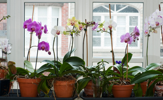 A table of blooming moth orchids in a variety of colours in terracotta pots.