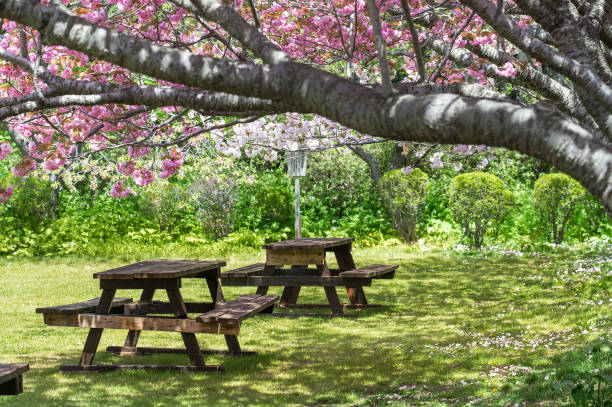 Table with sitting bech under Sakura tree cherry blossom at Japan stock photo