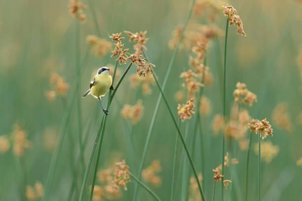 tachuri en campo de flores stock photo
