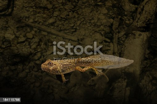 Bullfrog tadpole growing legs