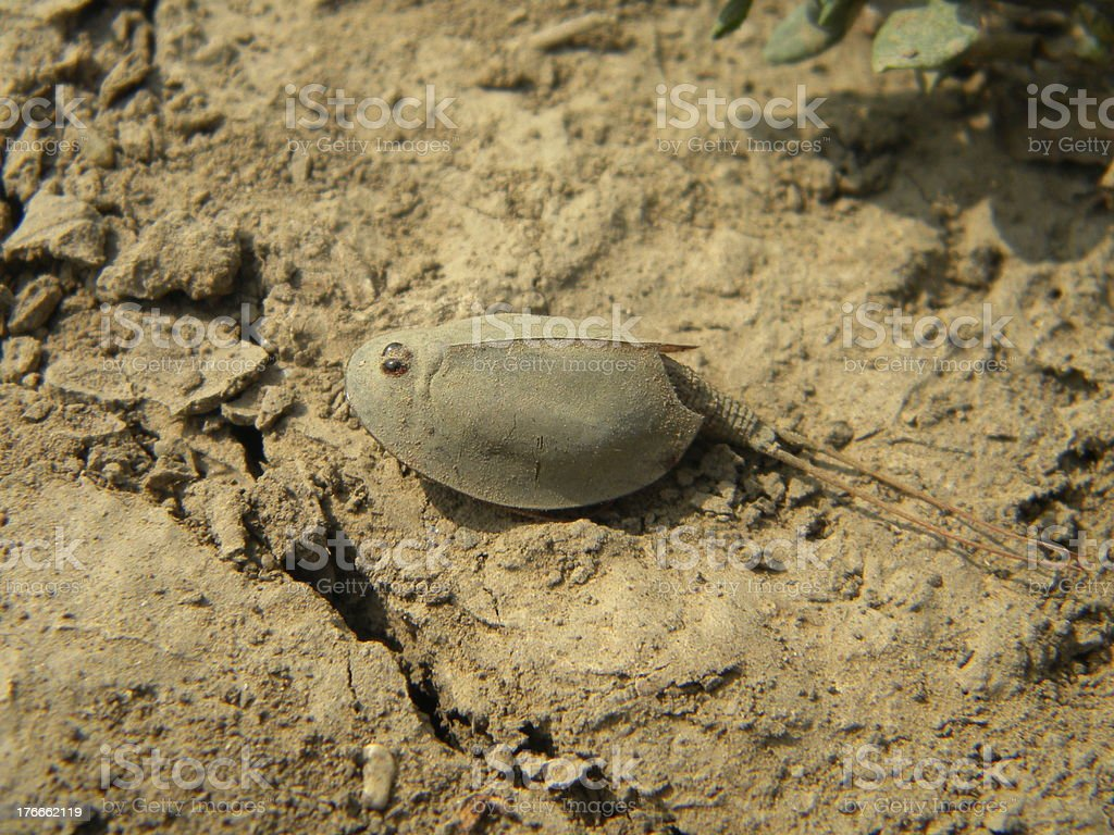 Tadpole shrimp on dry land royalty-free stock photo