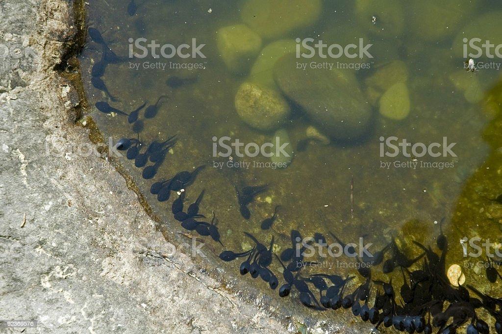 Tadpoles im flachen Wasser Lizenzfreies stock-foto