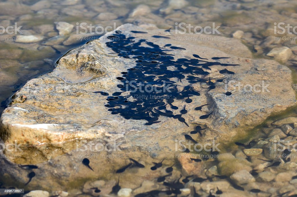tadpoles on a rock in the lake stock photo