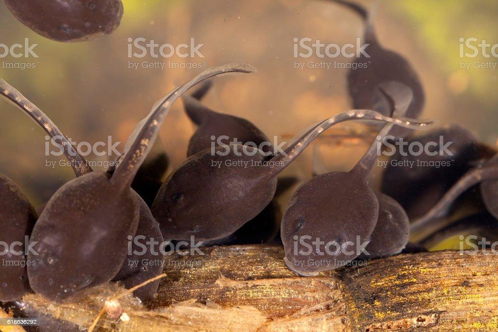 Tadpoles pollywog porwigle amphibian larval stage stock photo