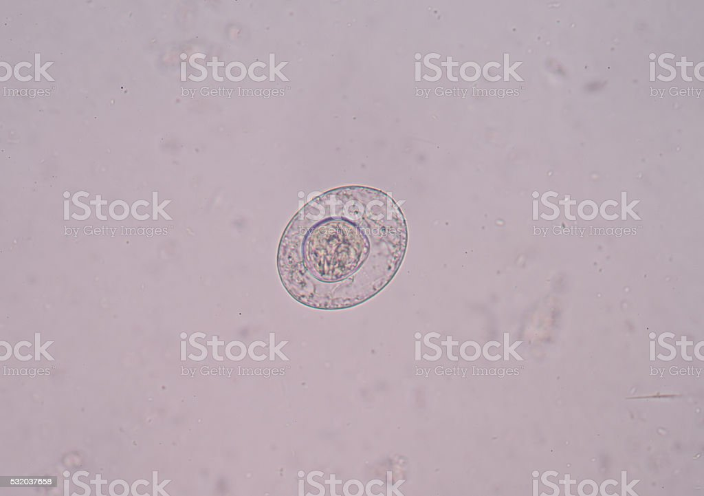 Taenia is a genus of tapeworm stock photo