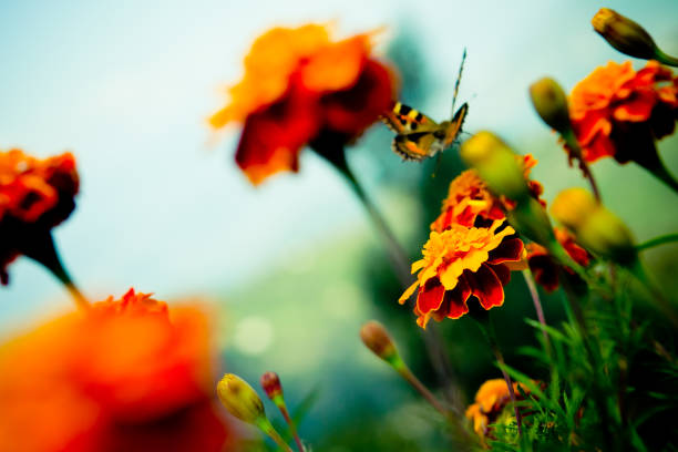 Tagetes and Buterfly fly away stock photo