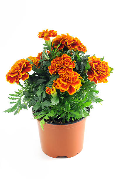 Tagetes in a pot isolated on white background studentenblumen picture id160815693?b=1&k=6&m=160815693&s=612x612&w=0&h=quyprsjxrc16o6f0qh0lftkn2yxlwoxq2x jfajpnrm=