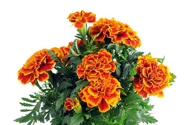 Tagetes in a pot isolated on white background studentenblumen picture id161956862?b=1&k=6&m=161956862&s=612x612&w=0&h=v02eqcsm8rbqaxlajom 9zyfarzejweap 6cnkoldxg=