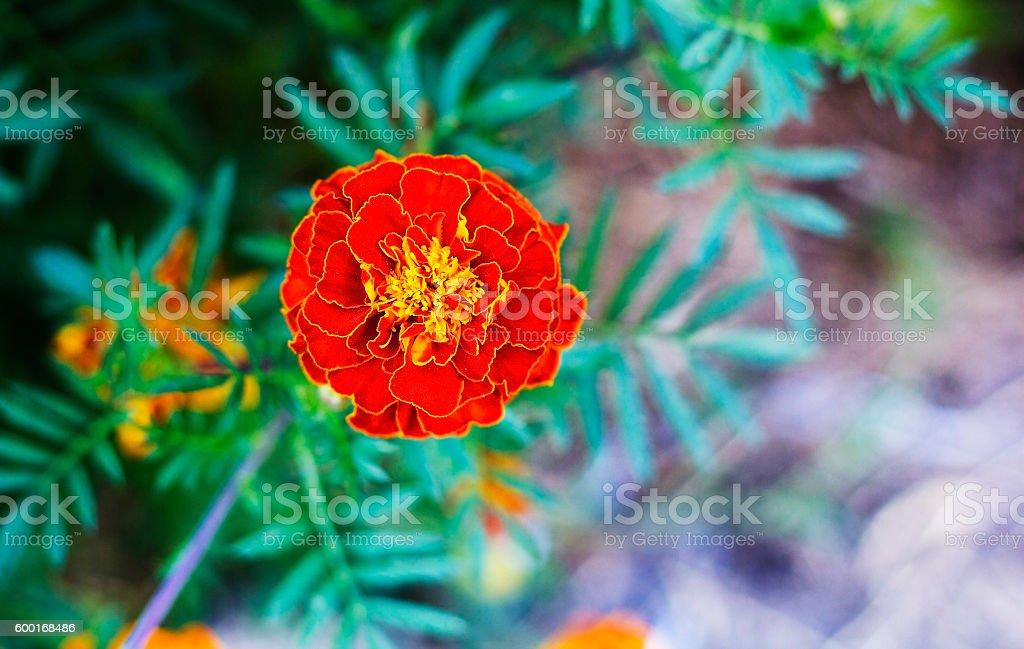 Tagetes in summer garden. Yellow flower Marigold stock photo