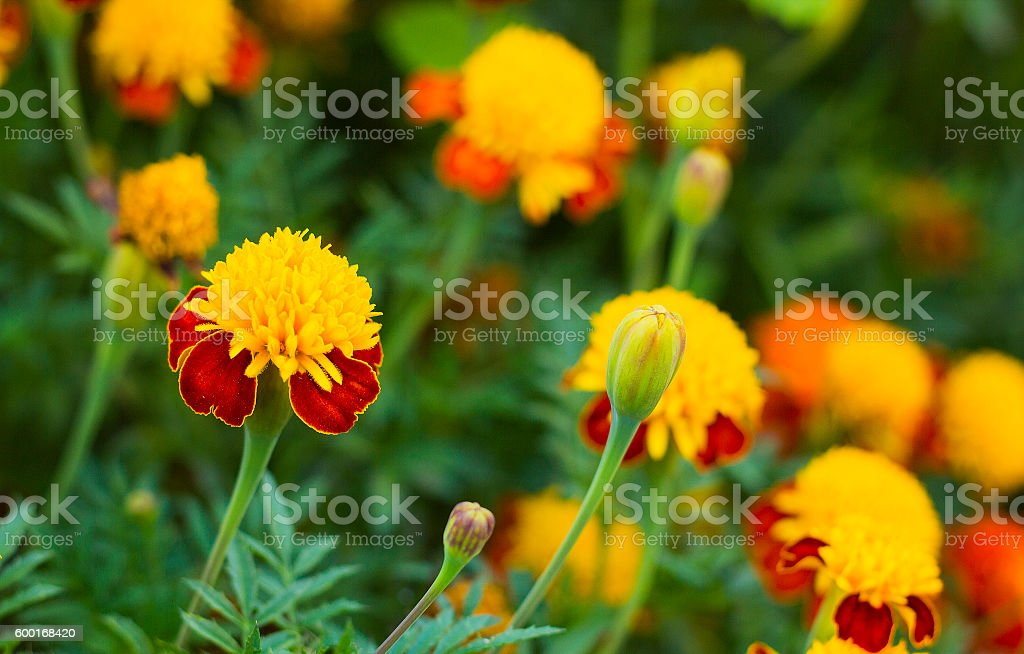 Tagetes in summer garden. Yellow flowers Marigolds stock photo
