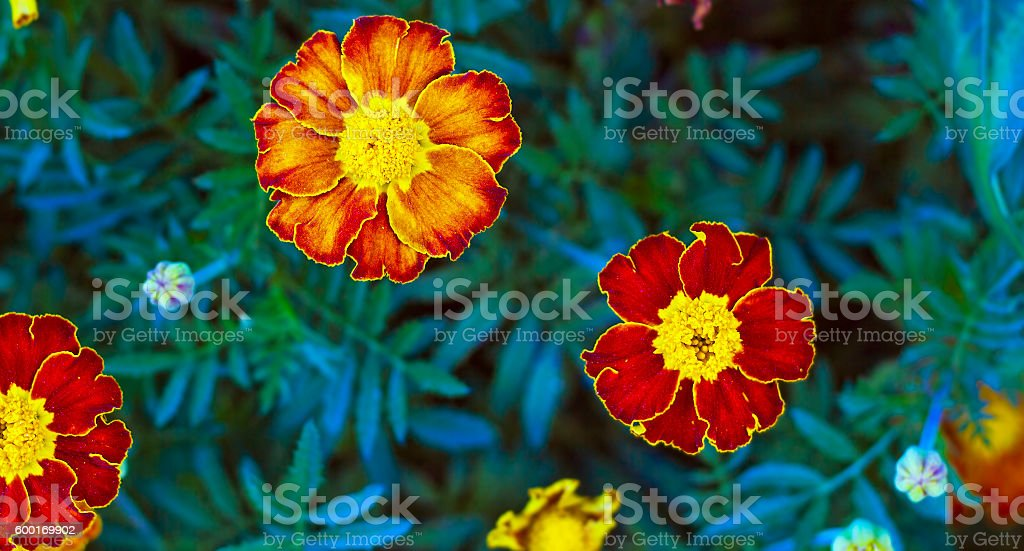 Tagetes in summer garden. Yellow flowers MarigoldsTagetes in summer garden stock photo