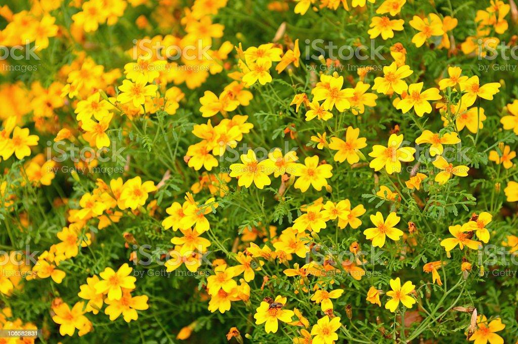 Tagetes or marigold royalty-free stock photo