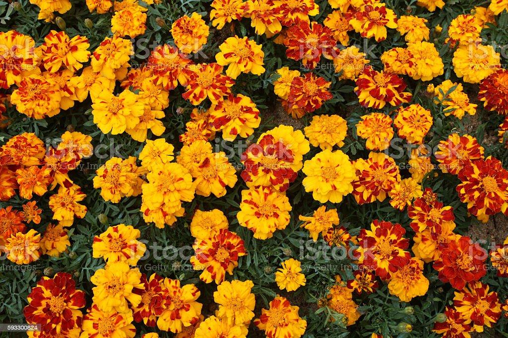 Tagetes Patula - French Marigold -Tagetes erecta stock photo