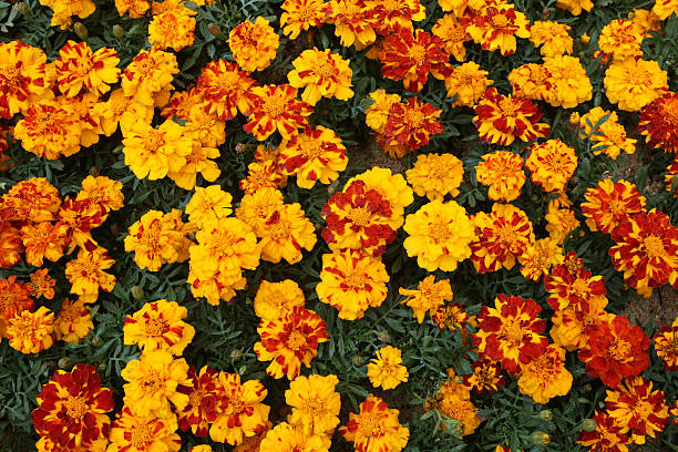 Tagetes Patula - French Marigold -Tagetes erecta stock photo
