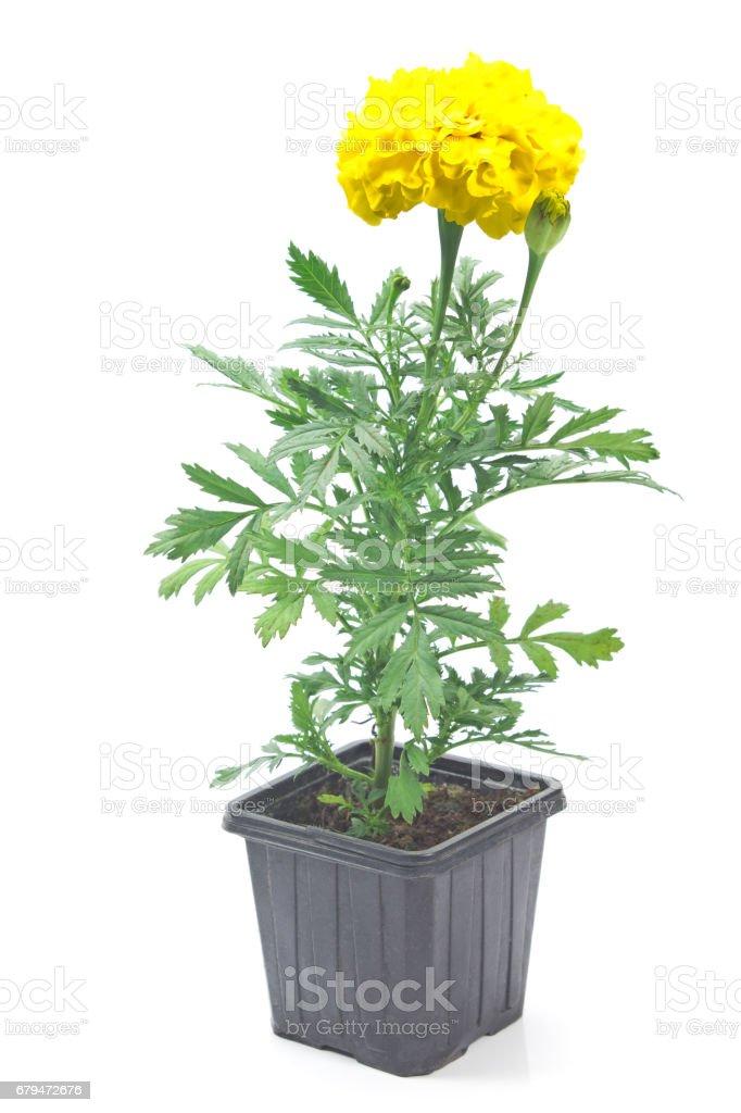 萬壽菊黃色花在鍋上白色孤立 免版稅 stock photo