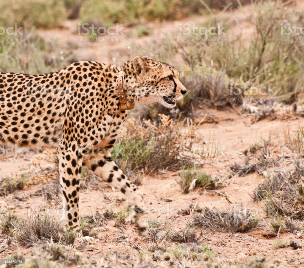 Tagged Cheetah in the Wild royalty-free stock photo