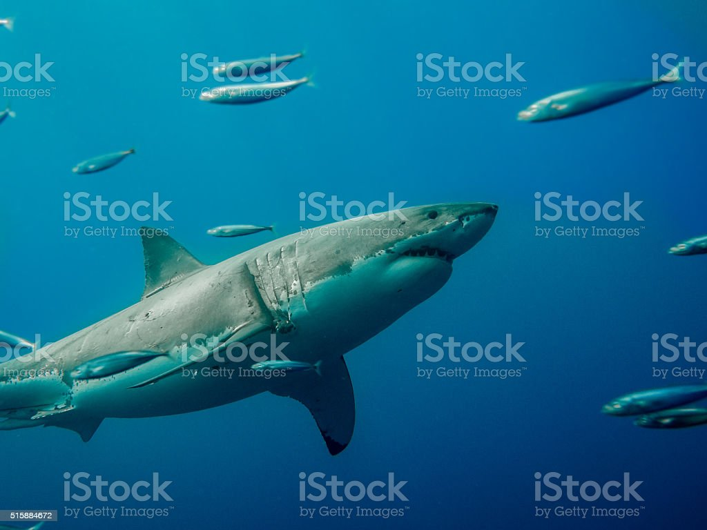 Tagged great white shark swimming against tide stock photo