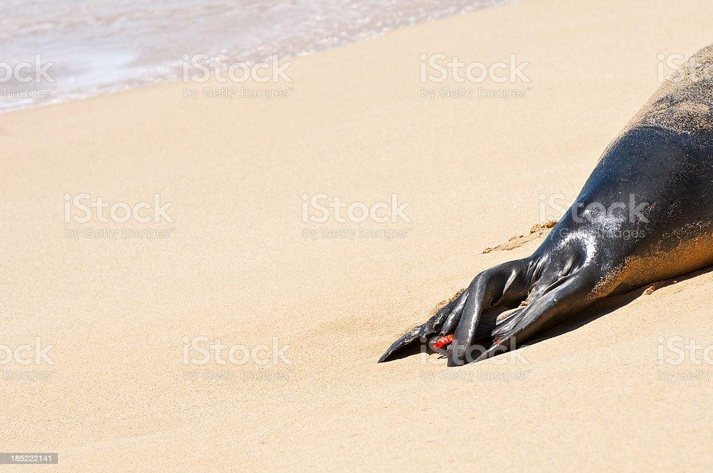 Tagged tail of Hawaiin Monk Seal on Kauai stock photo