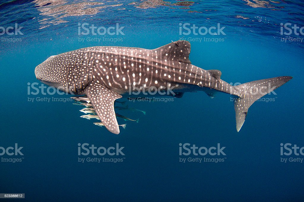 Tagged Whale Shark with Cobia stock photo