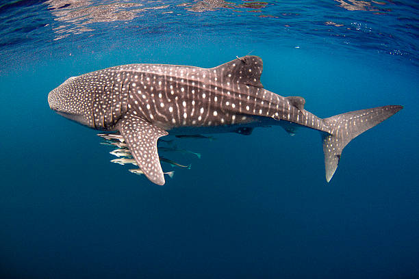 Tagged Whale Shark with Cobia Tagged Whale Shark with Cobia on the Ningaloo Reef, Exmouth, Western Australia whale shark stock pictures, royalty-free photos & images