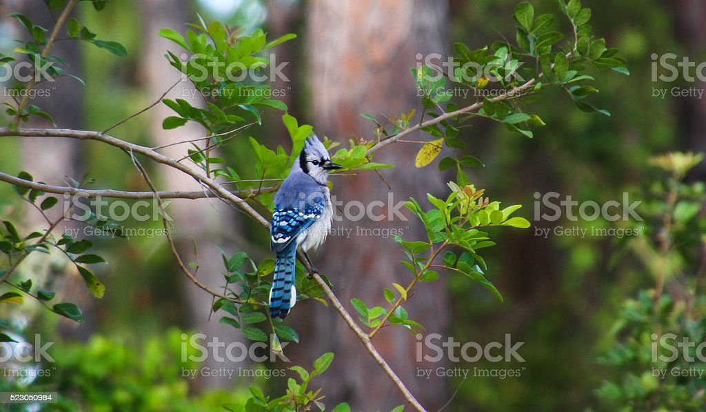 tail feathers of a Blue Jay stock photo
