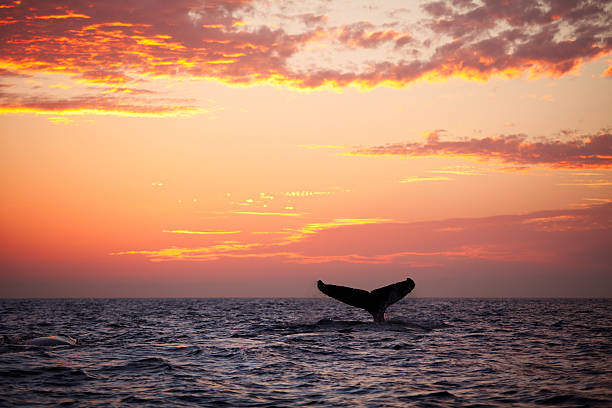 Tail fin from diving humpback whale at sunset A humpback whale plays in the golden sunset light. whale stock pictures, royalty-free photos & images