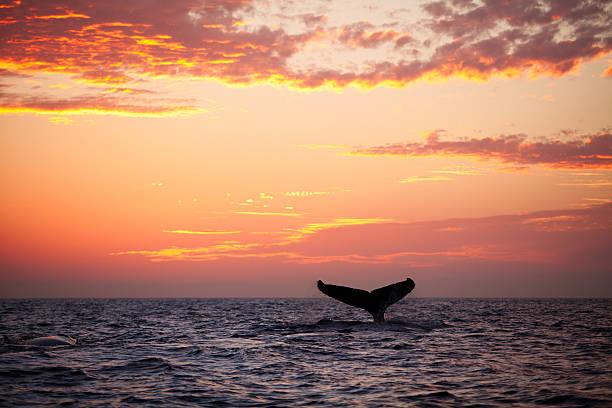 Aleta de cola de buceo ballena jorobada al atardecer - foto de stock