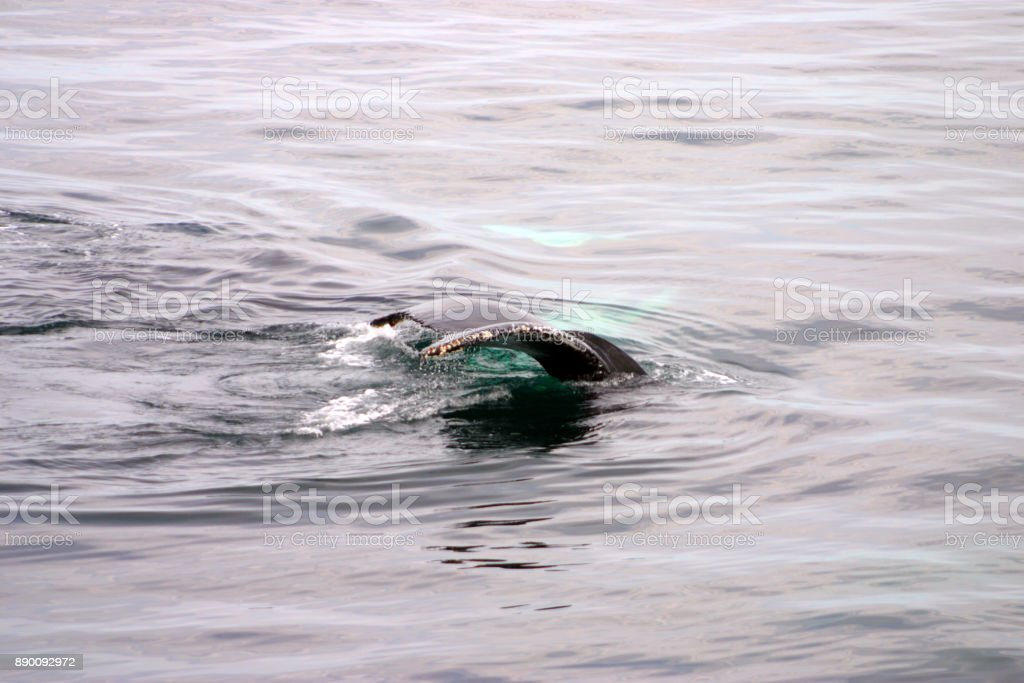 Tail fin of a gray whale in Atlantic stock photo