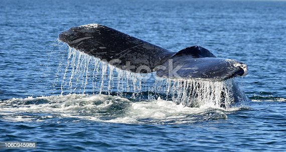 Tail fin of the mighty humpback whale Megaptera novaeangliae. Pacific ocean near the Gulf of California also known as the Sea of Cortez.