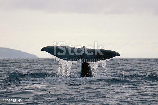 istock Tail fluke of a diving sperm whale near the Azores, Portugal 1129248142