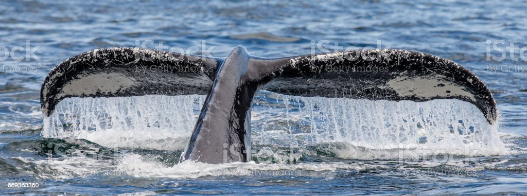 Tail humpback whale above the water surface close up. stock photo