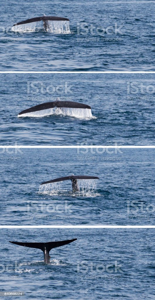 Tail humpback whale fluke up dive in the water stock photo