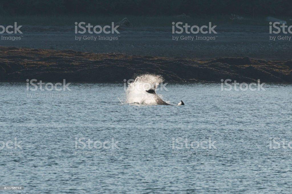 Arremessando a Orca da cauda - foto de acervo
