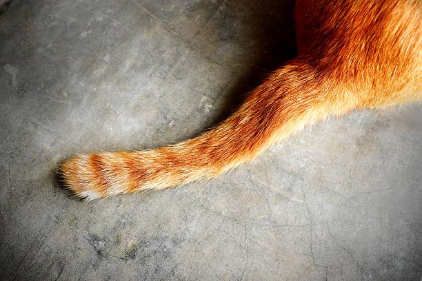 tail of a cat - tail stock photos and pictures