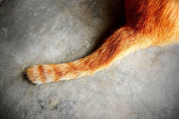 Cola de gato - foto de stock