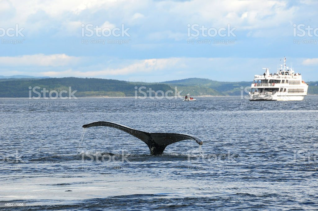 Tail of a humpback wale and sight seeing ship in Tadoussac stock photo