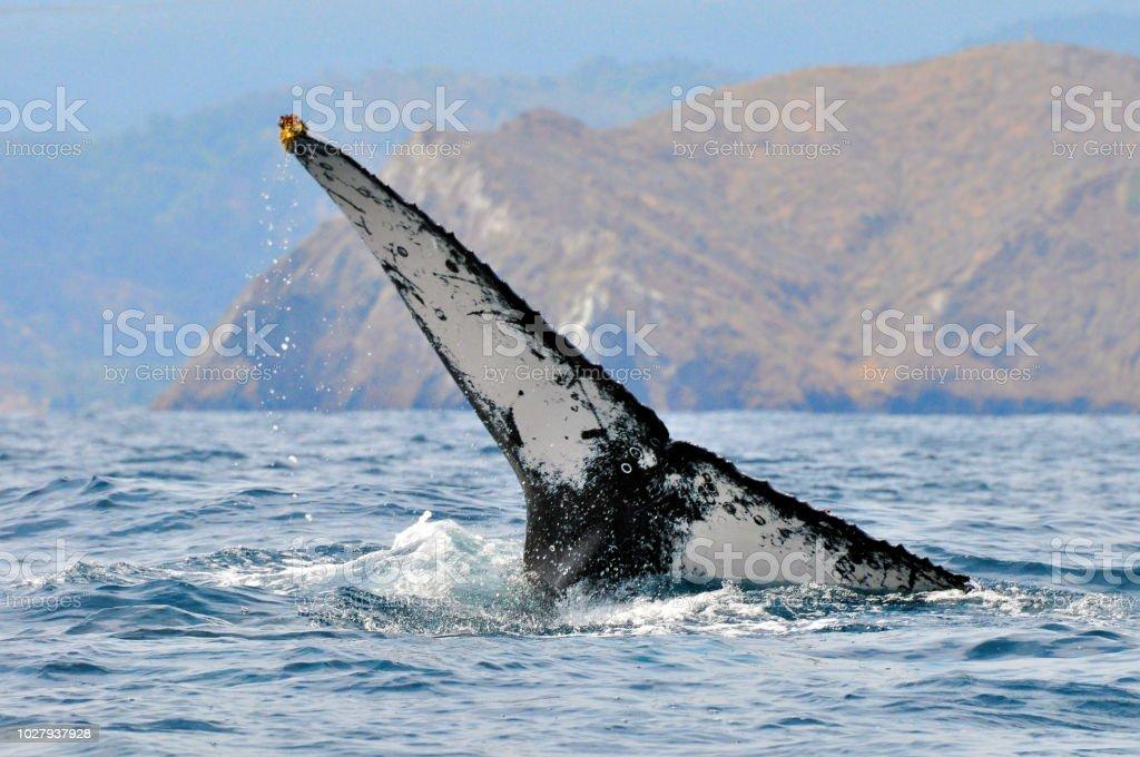 Cola de una ballena jorobada - foto de stock