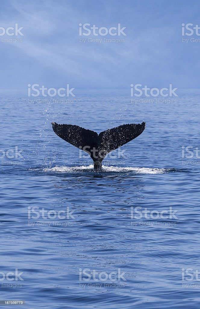 Tail of a Humpback Whale (Megaptera novaeangliae) stock photo