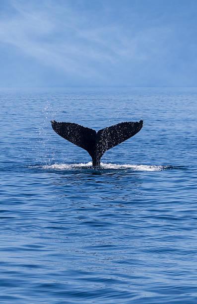 Tail of a Humpback Whale (Megaptera novaeangliae)