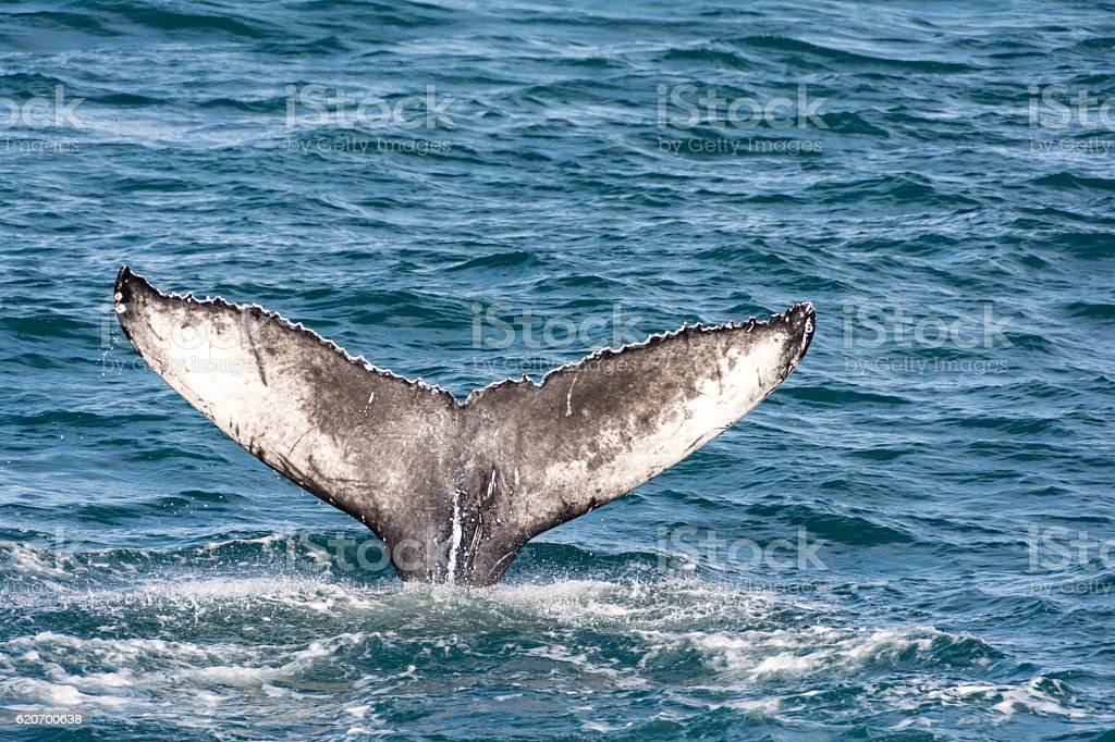 Tail of a humpback whale stock photo