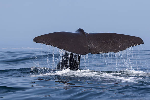 tail of a sperm whale which dives into the water - Photo