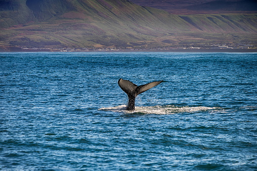istock Tail of a whale in Husavik, Iceland 642799866