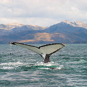 Tail flukes of Humpback Whale (Megaptera novaeangliae) in Strait of Magellan, Chile, as the animal begins a deep dive