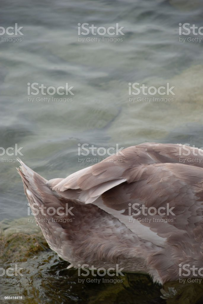 Tail of swan in the lake royalty-free stock photo