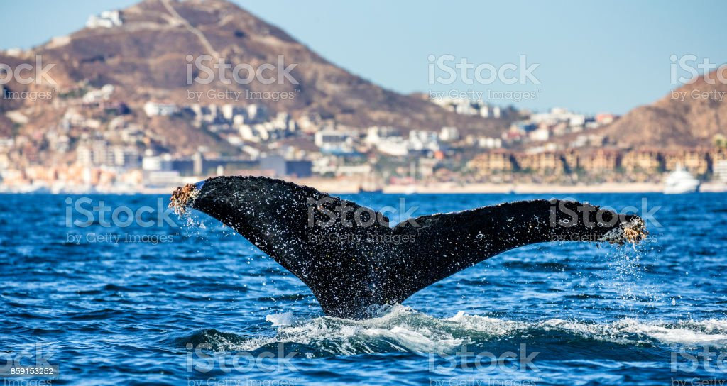 Tail of the humpback whale. Mexico. Sea of Cortez. royalty-free stock photo
