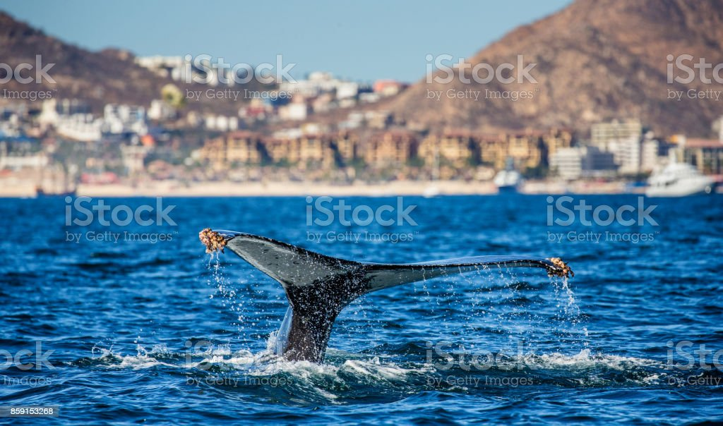 Tail of the humpback whale. Mexico. Sea of Cortez. stock photo